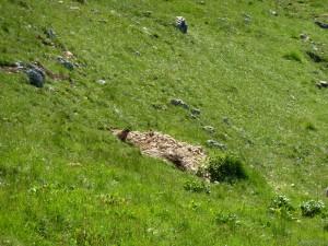 Una delle tante Marmotte della zona